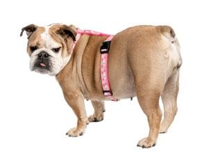 hipertenzija šuniui
